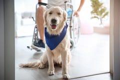 Милая собака обслуживания и запачканный человек в кресло-коляске, стоковое изображение