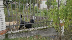 Милая собака предохранителя 2 за загородкой, лаяющ, проверяя на вас 4K видеоматериал