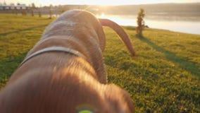 Милая собака принося шарик к камере на солнечном дне Конец-вверх сток-видео