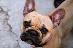 Милая собака французского бульдога стоковое изображение rf