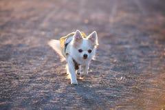 Милая собака чихуахуа идя в лучи солнечного света на заходе солнца стоковые фото