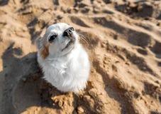 Милая собака чихуахуа сидя на предпосылке песка пляжа стоковые фото