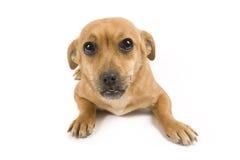 милая собака Стоковое Изображение