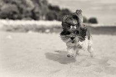 Милая собака Bichon Havanese бежать happilly на пляже Sepia тонизировал изображение, малую глубину поля, фокуса на глазе стоковая фотография
