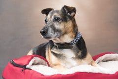 Милая собака Corgi ослабляя в комфортабельной кровати стоковые фотографии rf