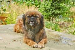 милая собака pekingese Стоковое фото RF
