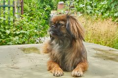 милая собака pekingese Стоковая Фотография