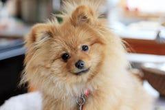 милая собака pomeranian Стоковые Изображения RF