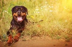 Милая собака rottweiler Стоковая Фотография RF