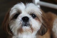 Милая собака Shih-tzu смотря телезрителя Стоковое Изображение RF