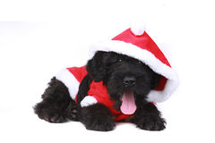 Милая черная русская собака щенка Terrier Стоковые Фотографии RF