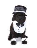 Милая черная русская собака щенка Terrier Стоковое Изображение