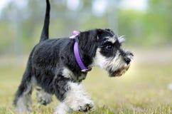 Милая черная серебряная собака щенка миниатюрного шнауцера исследуя outdoors Стоковые Фото