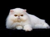 милая черного кота предпосылки красивейшая перская стоковая фотография