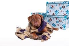 милая шаль щенка Стоковое Изображение RF
