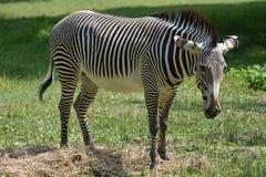 Милая grevy зебра стоя в поле травы Стоковое Изображение