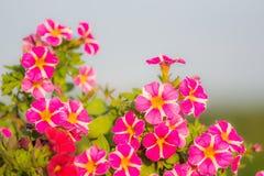 Миллион деталей цветка колоколов Цветеня лета красные и фиолетовые Красивые заводы в саде Украшение для дачи Стоковая Фотография