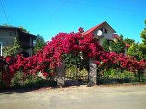 Миллион роз шарлаха на воротах стоковое изображение rf
