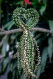 Миллион ruscifolia Decne HeartDischidia бывшее Becc в форме сформированного сердца орнаментальный завод Стоковое Изображение RF