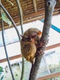 Милое более tarsier усаживание на ветви с зелеными листьями Стоковое Изображение RF