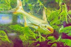 Милое гигантское pangasius, акула paroon, pangasid-сом или Chao Phr Стоковые Изображения RF