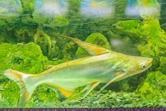 Милое гигантское pangasius, акула paroon, pangasid-сом или Chao Phr Стоковые Фото