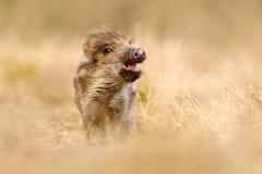 Милое животное в портрете леса одичалой свиньи, луга травы Молодой дикий кабан, scrofa Sus, бежать в луге травы, красная осень fo Стоковое Изображение RF