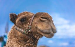 Милое животное пустыни стороны верблюда стоковая фотография