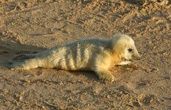 Милое заново принесенное серое grypus лежа на пляже на солнечный день на Horsey, Норфолк Halichoerus щенка уплотнения, Великобрит Стоковые Фото