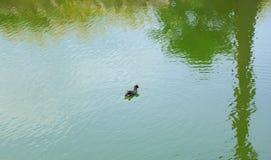 Милое заплывание птицы в воде Большие утесы на предпосылке Природа Аруба Стоковые Изображения RF
