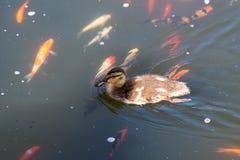Милое заплывание утенка в пруде koi в южной Калифорнии Стоковая Фотография RF