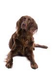 милое звероловство собаки Стоковые Фотографии RF