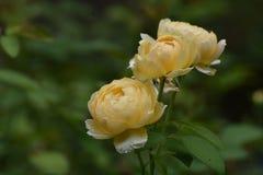 Милое изображение желтых роз весной Стоковое Фото