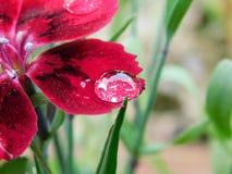 Милое красивое падение воды на цветке стоковая фотография rf