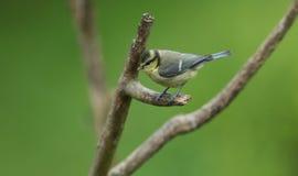 Милое молодое caeruleus Cyanistes голубой синицы садясь на насест на ветви в дереве Стоковое Фото