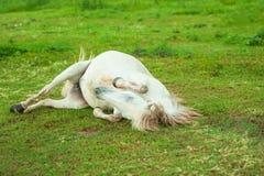 Милое оживление завальцовки белой лошади на зеленой траве Тайская лошадь Thail стоковое изображение rf