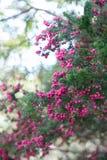 Милое побережье pinkberry, Тасмания стоковое изображение