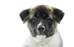 Милое фото пушистого щенка американца s akita Стоковое Изображение