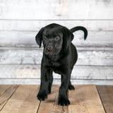 Милый черный щенок Лабрадор стоковые изображения rf