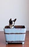 Милое чихуахуа в голубой деревянной коробке Стоковые Изображения RF