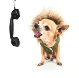 Милое чихуахуа говоря на телефоне стоковое изображение rf