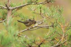 Милое ювенильное undata Сильвии певчей птицы Дартфорда садясь на насест на ветви в дереве стоковая фотография