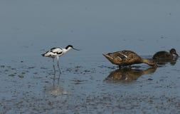Милое avosetta Recurvirostra Avocet пробует получить, что platyrhynchos Anas утки кряквы и свой милый младенца двинуло прочь для стоковое фото rf