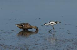 Милое avosetta Recurvirostra Avocet пробует получить, что platyrhynchos Anas утки кряквы двинуло далеко от где это питание стоковые фотографии rf