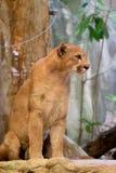 Милое concolor пумы льва горы котенка стоковое изображение rf