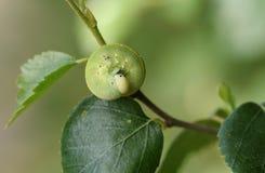 Милое femoratus Cimbex гусеницы пилильщика березы подавая на серебряной березе в полесье стоковые изображения rf