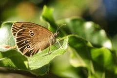 Милое hyperantus Aphantopus бабочки Ringlet садясь на насест на лист стоковые фотографии rf