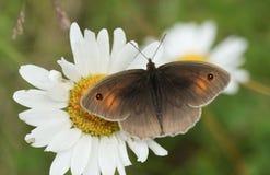 Милое jurtina Maniola бабочки Брайна луга садясь на насест на vulgare Leucanthemum цветка маргаритки вол-глаза или собаки Стоковое Изображение RF