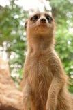 милое meerkat выражения Стоковые Фотографии RF