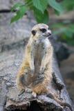 Милое meerkat на караульной службе Стоковое фото RF